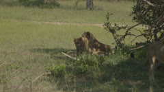 Family of lions Stock Footage