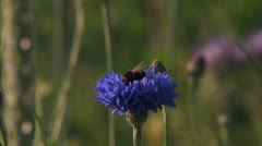 Bee on blue flower - stock footage