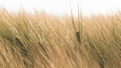 Wheat waving in the wind - stock footage