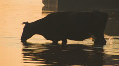 Silhouette of cow drinking water Stock Footage