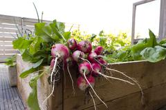 Radish from biological garden Stock Photos