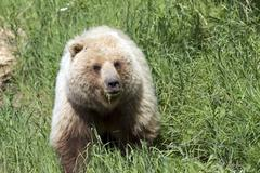 grizzly bear in the wild eating grass - stock photo