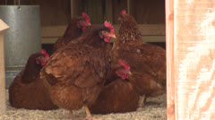 Chickens in a Coop Stock Footage