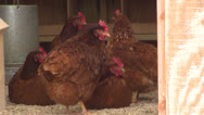 Stock Video Footage of Chickens in a Coop HD