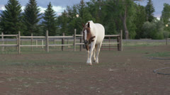 Horse on farm walking towards camera Stock Footage
