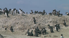Colony of guillemots Stock Footage