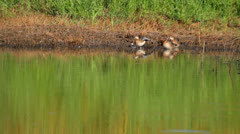 Three garganeys on the shore of a lake, environmental concept Stock Footage