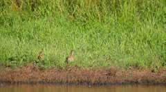 Ducks with ducklings hiding in high grass Stock Footage