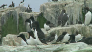 Stock Video Footage of Razorbill