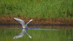 Black-headed gull feeding, diving and catching its prey, fishing Stock Footage