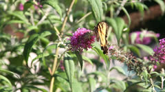 Yellow Butterfly on Pink Flowers on Spring Day in Slow Motion Stock Footage