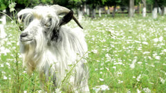 Stock Video Footage of cute furry goat chewing