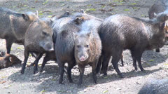 Wild Hogs, Farm Animals, 2D, 3D - stock footage