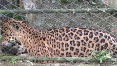 Caged Jaguars, Animals, Wildlife, 2D/3D - stock footage