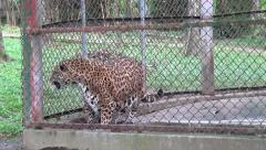 Caged Jaguars, Animals, Wildlife, 2D/3D Stock Footage