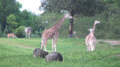 Giraffes, Mammals, Animals, 2D, 3D - stock footage