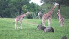 Giraffes, Mammals, Animals, 2D, 3D - stock footage
