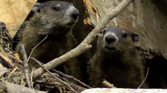 Amid Nature - Woodchucks AKA Groundhogs Stock Footage