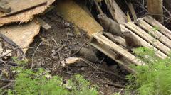 Amid Nature - Groundhogs AKA Woodchucks Stock Footage