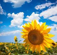 sunflower and field against beautifu blue sky / summer - stock photo