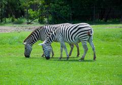 zebra in safari - stock photo