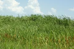 overgrown thick cane - stock photo