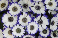 white and blue flowers - stock photo