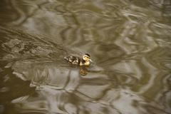 A tiny duckling swims across a lake - stock photo