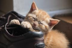 A ginger kitten asleep on a boot - stock photo