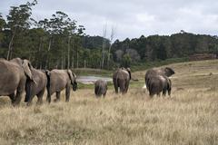 Herd of elephants walking in a game reserve, South Africa - stock photo