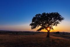Single tree in a wheat field on a background of sunset Stock Photos