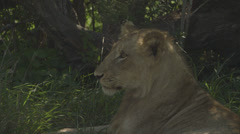 Lion relaxing Stock Footage