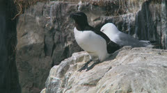 Razorbill Stock Footage