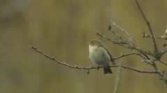 Willow Warbler (Phylloscopus trochilus) flying off branch Stock Footage