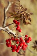 rowan berries - stock photo