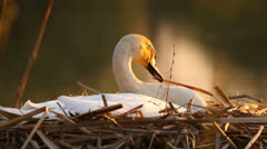 White mute swan in its nest in the evening lit by warm setting sun Stock Footage