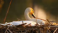 Stock Video Footage of White mute swan in its nest in the evening lit by warm setting sun