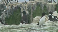Stock Video Footage of Razorbill