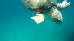 Sea Turtle With Injured Flipper 1 Stock Footage