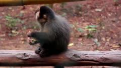 Monkey Capuchin 9920 Stock Footage