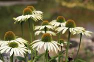 Stock Photo of echinacea