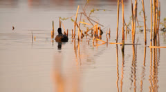 Coot swimming in the lake in the evening, sunset colors Stock Footage