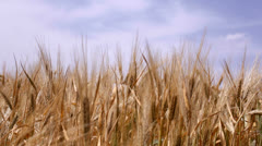 Ripe wheat Stock Footage