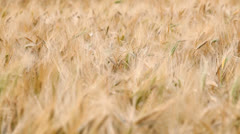 Cereal harvest Stock Footage