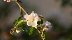 Honey bee collects nectar from an apple tree blossoms, close-up Stock Footage