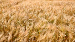 Field of ripe wheat Stock Footage