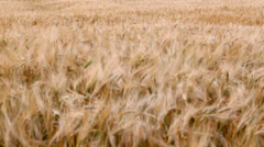 Field of ripe wheat in the wind Stock Footage