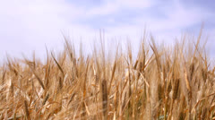 Harvest of ripe wheat Stock Footage