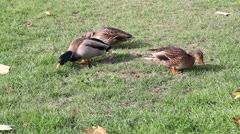 Three ducks eating grass - stock footage