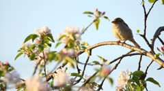 House sparrow in blooming apple tree, bird among beautiful blossoms Stock Footage